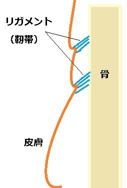 たるみとリガメント.jpg
