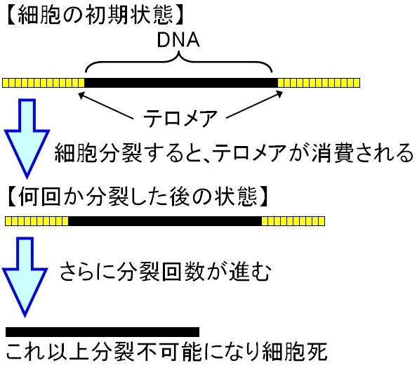 テロメアと細胞分裂改訂版.jpg