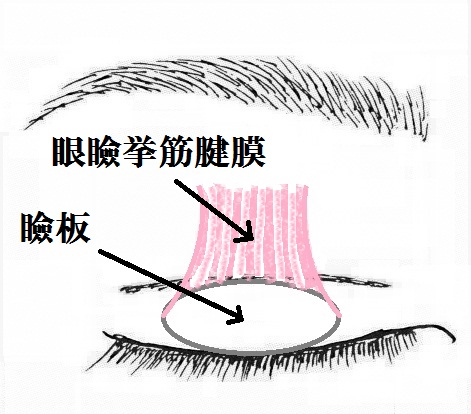 眼瞼挙筋腱膜.jpg