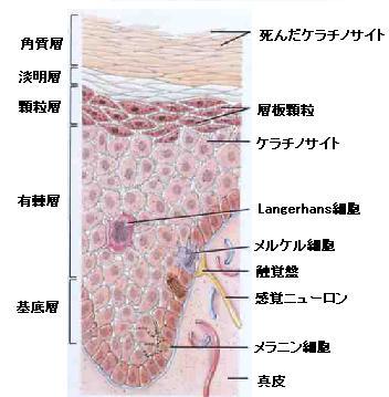 表皮の構造断面図.jpg