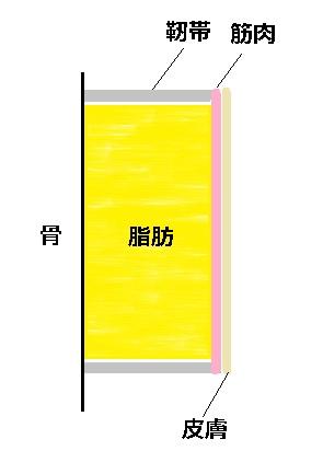 皮膚骨靭帯関係図.jpg